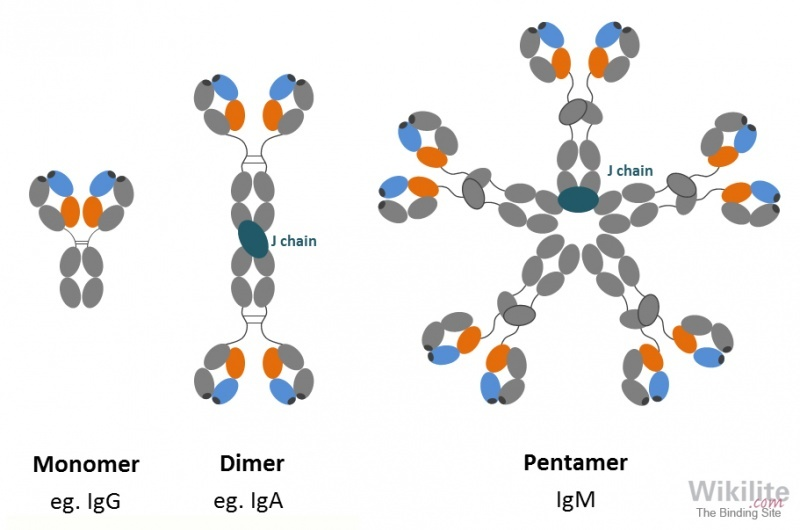 Figure 3.3. Different forms of secreted antibodies.