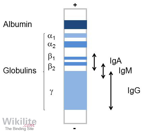 Figure 4.1. Schematic of serum protein electrophoresis.
