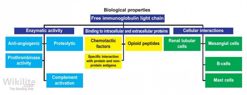 ​Figure 35.16. Biological actions of sFLCs include enzymatic activity, binding to tissue substrates and mast cells.