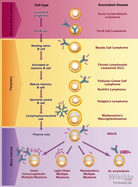 Figure 3.8. Development of the B-cell lineage and associated diseases.