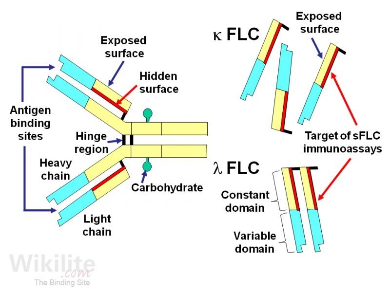 Anatomy of the antibody molecule pdf