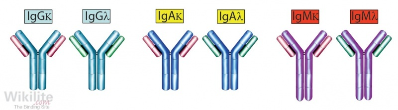 Figure 9.2. Heavy/light chain pairs of IgG, IgA and IgM molecules showing the target epitopes for HLC immunoassays in black.