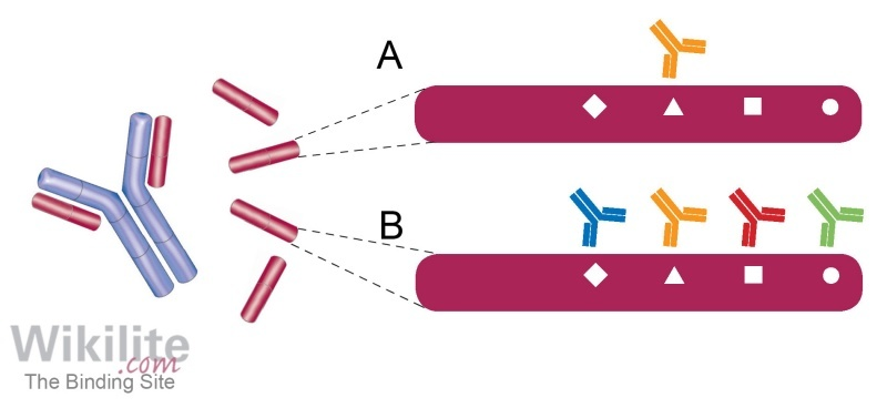 Figure 8.2. FLC epitope(s) recognised by (A) monoclonal or (B) polyclonal antisera.
