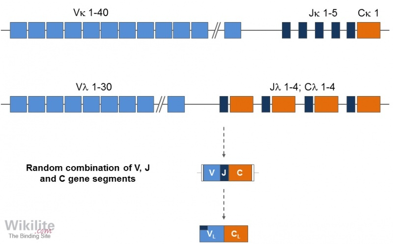 Figure 3.5. Genetic organisation of light chain genes.