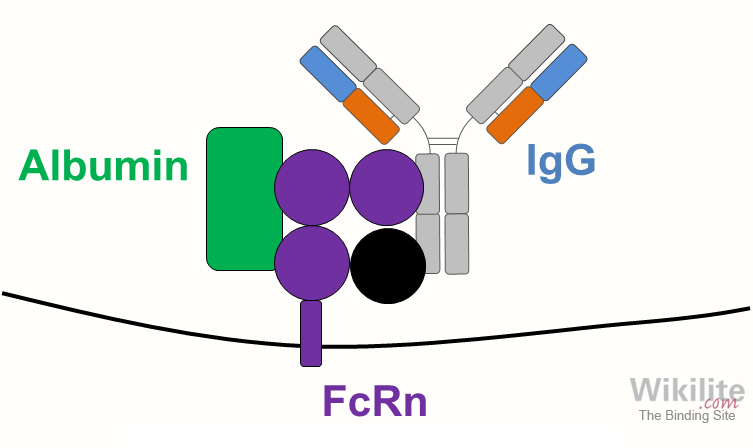 Figure 3.13. Diagram of FcRn structure showing binding of IgG and albumin molecules.