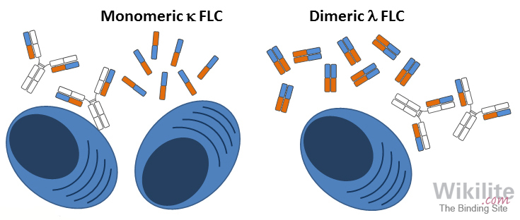 Figure 3.7. Diagrammatic representation of plasma cells producing intact immunoglobulins with monomeric κ and dimeric λ FLC molecules.